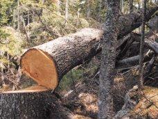 В Севастополе застройщик незаконно вырубил более 100 деревьев