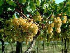 В Крыму планируют провести инвентаризацию виноградников