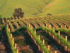 В Гурзуфе проведут химическую обработку виноградников