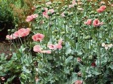 Житель Феодосии разбил у себя на огороде плантацию мака и конопли