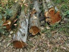 В Севастополе лесники допустили незаконную вырубку можжевельника