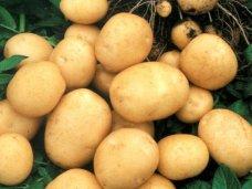 Россельхознадзор запретил ввоз украинского картофеля в Крым