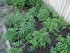 Крымчанка выращивала у себя на огороде коноплю