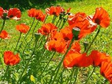 На огороде у пенсионерки нашли плантацию снотворного мака