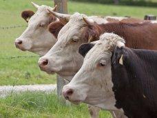 В Крыму наблюдается сокращение поголовья скота