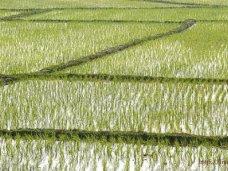 На компенсацию убытков рисовых угодий в Крыму выделят 273 млн. рублей