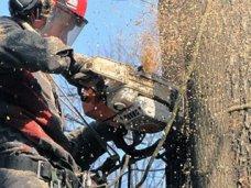 В Симферополе сносят аварийные деревья