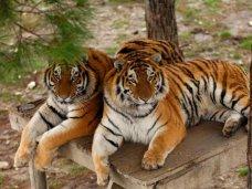 В Крыму хотят создать центр по сохранению амурских тигров