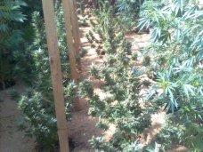 В Симферопольском районе местный житель вырастил 36 кустов конопли