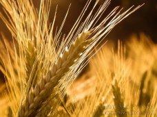 В Крыму намолотили 1 млн. тонн зерна