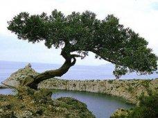 В голосовании за растение-символ Крыма лидирует можжевельник высокий