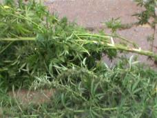 Жительница Сак выращивала у себя на участке коноплю