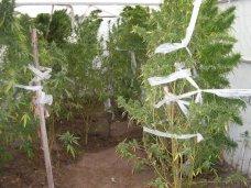Житель Керчи попался на выращивании марихуаны