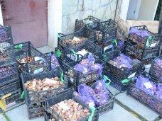 В Никитском ботаническом саду высадят 220 сортов тюльпанов