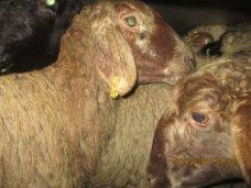 Большая партия овец без документов не допущена в Крым
