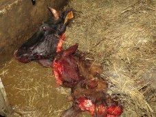 В Крым с Украины не попало контрабандное мясо, перевозимое в антисанитарных условиях