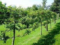 Деревья на шпалере в ландшафтном дизайне