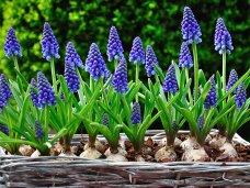 Мускари - идеальное комнатное растение от florium.ua