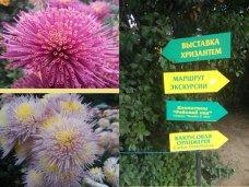 Ковер из тридцати тысяч хризантем – в сердце Никитского сада